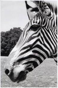 Hello Mr. Zebra