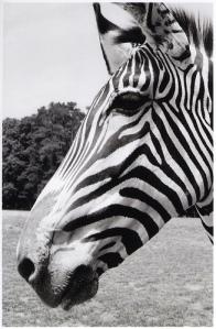 Hello Mr. Zebra